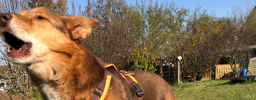 Hilfe, mein Hund kläfft! – Grundlagen, Ursachen und Training,Online-Vortrag mit Carolin Hess