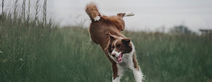 Hibbelhunde: Mehr Gelassenheit für aufgedrehte Hunde, Vortrag mit Carolin Hess